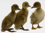 meyer_hatchery_ducks